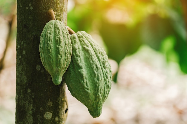 Cacaoboom (theobroma cacao). organische cacaofruitpeulen in aard.