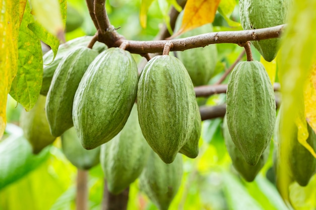 Cacaoboom (theobroma cacao). organische cacaovruchtpeulen in de natuur.