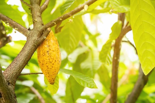 Cacaofruit op de boom met zonlicht