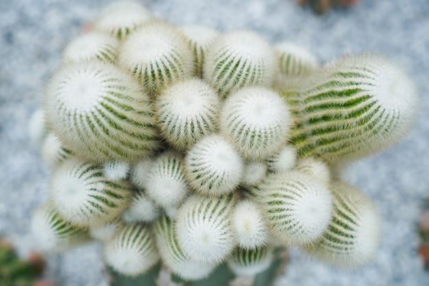 Cactus bovenaanzicht