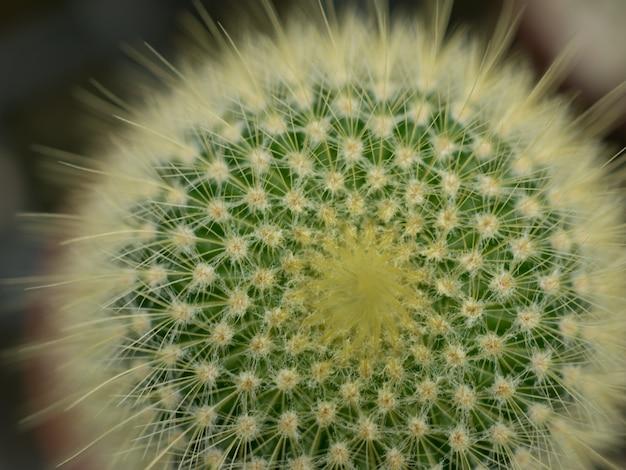 Cactus doorn