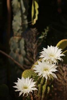 Cactus echinopsis tubiflora, selectieve focus, close-up weergave