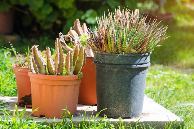 Cactus en succulente groep in pot buiten in de tuin. leuke woestijn tropische plant. diverse cactus. veel cactussen.