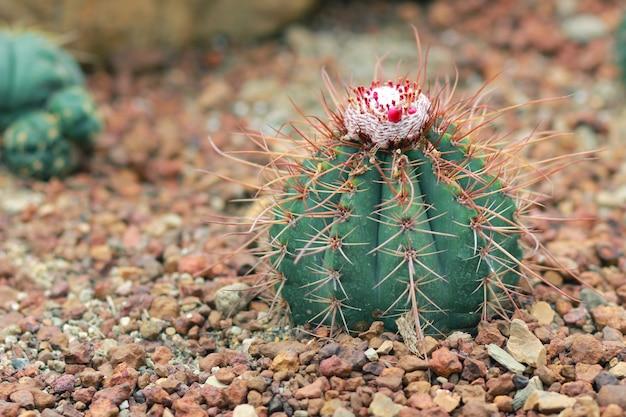 Cactus genaamd melocactus violaceus (wetenschappelijke naam) in de tuin.