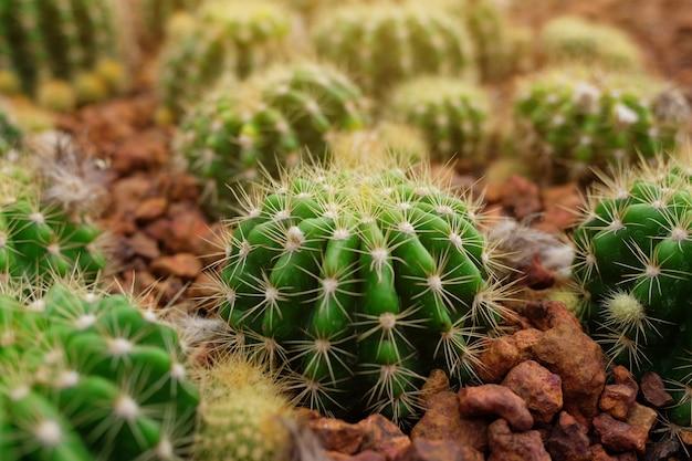Cactus in de woestijn
