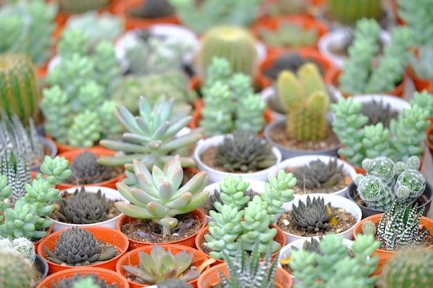 Cactus in potten opgesteld klaar voor verkoop.