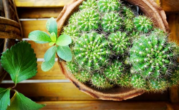 Cactus in potten