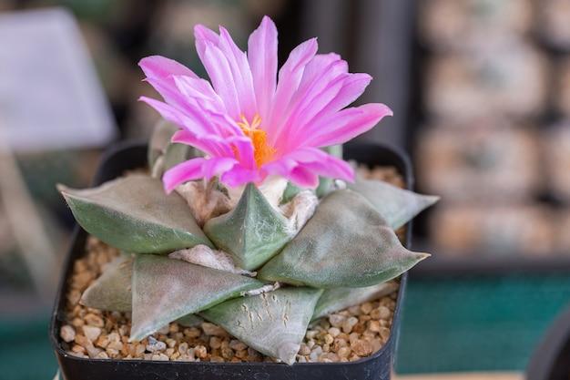 Cactus in woestijn botanische tuin