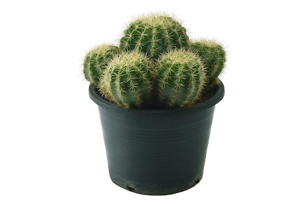 Cactus isoleren op witte achtergrond.