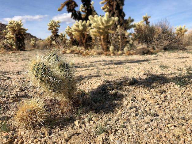 Cactus op de droge grond van het joshua tree national park, vs.