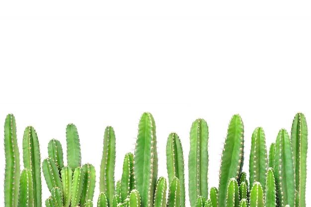 Cactus op geïsoleerde achtergrond