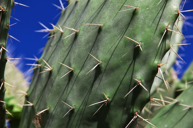 Cactus op mediterrane kust in algerije, afrika