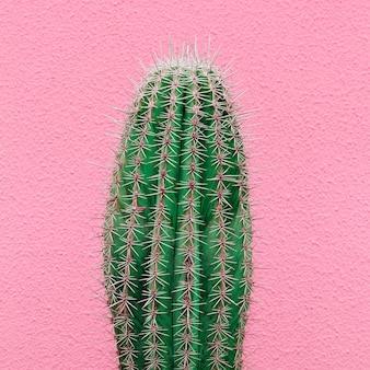 Cactus op roze muur. planten op roze concept art. cactus liefhebber concept