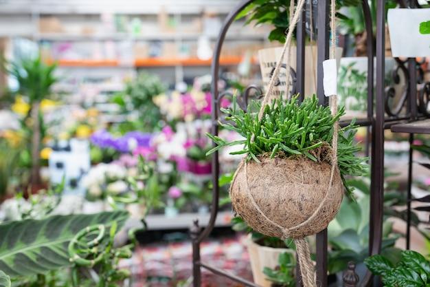 Cactus rhipsalis in een creatieve hangende natuurlijke bloempot van kokosnootschelp in een plantenwinkel.