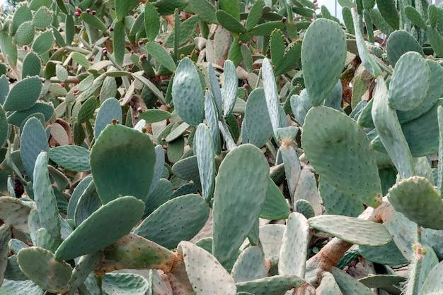 Cactus stekels achtergrond in botanische tuin