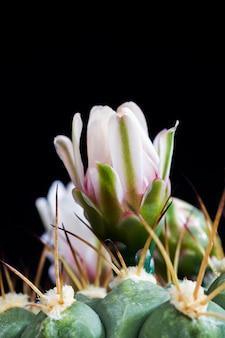 Cactus tijdens de bloei
