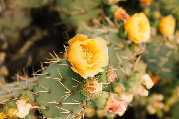 Cactus van de stekelige peer de gele cactus