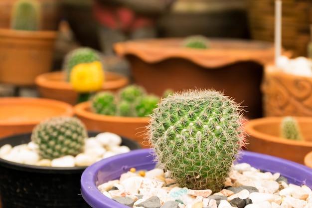 Cactusbloem in de bloempot
