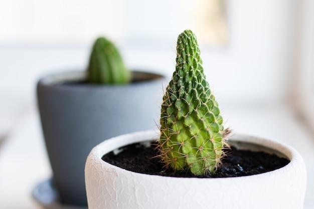 Cactusbloem in de pot op de witte tafel en lichte achtergrond. huisplanten en interieurconcept. de cactussen worden overgeplant van de ene bloempot in de andere.