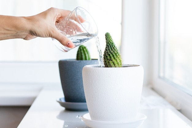 Cactusbloem in de pot op de witte tafel en lichte achtergrond. huisplanten en interieurconcept. de cactussen worden van de ene bloempot naar de andere overgeplant en bewaterd.