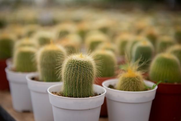 Cactusbloem in een gekweekt landbouwbedrijf