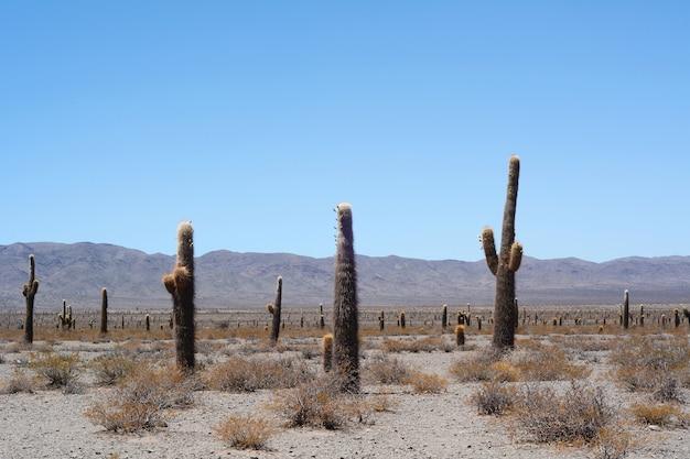 Cactusbos in salta, argentinië.