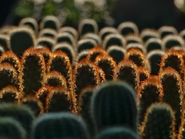 Cactusplanten in zonlicht
