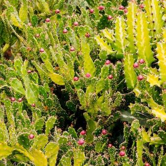 Cactussen achtergrond. canarisch eiland