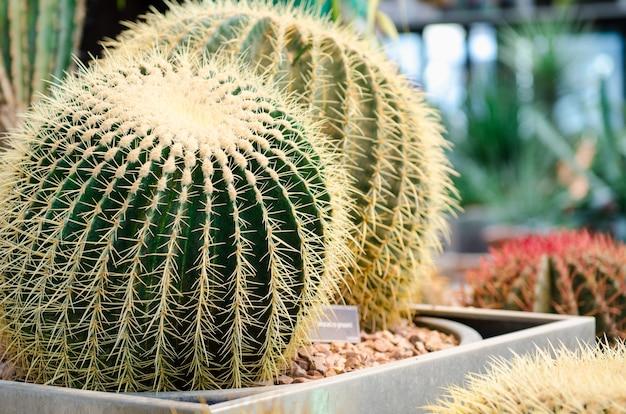 Cactussen. groene cactussen in rotsachtige bodem in grote collectie