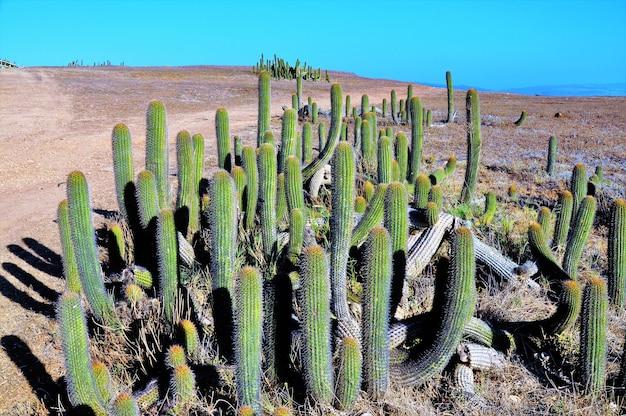 Cactussen in een woestijn in de buurt van de stille oceaan in punta de lobos in pichilemu, chili op een zonnige dag