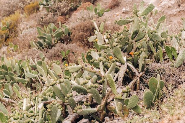 Cactussen op de hellingen van rotsen op het eiland tenerife. grote cactussen in de bergen. canarische eilanden, spanje.