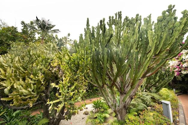 Cactussen op de hellingen van rotsen op het eiland tenerife. grote cactussen in de bergen. canarische eilanden, spanje