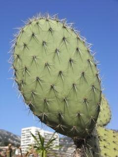 Cactusvijg, groen