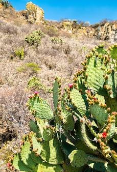 Cactusvijgplant op de archeologische vindplaats yagul in de staat oaxaca in mexico