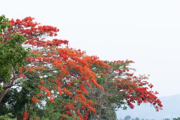 Caesalpinia pulcherrima bloem of pauw bloem op boom