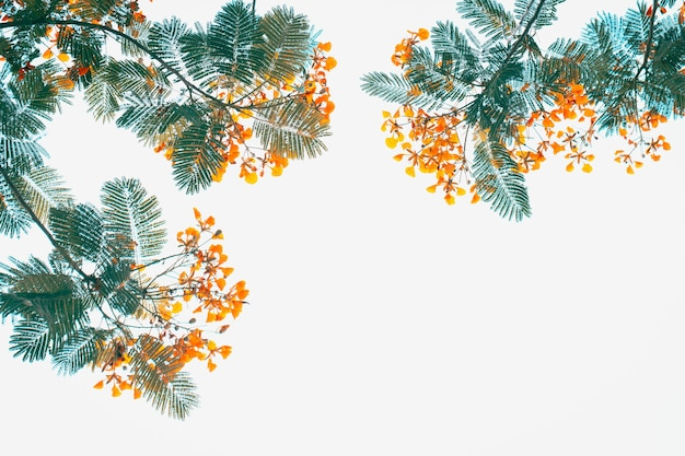 Caesalpinia pulcherrima bloem zoete filter foto