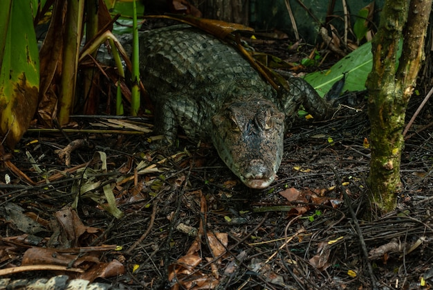 Caiman crocodile absorbing heat from sunlight
