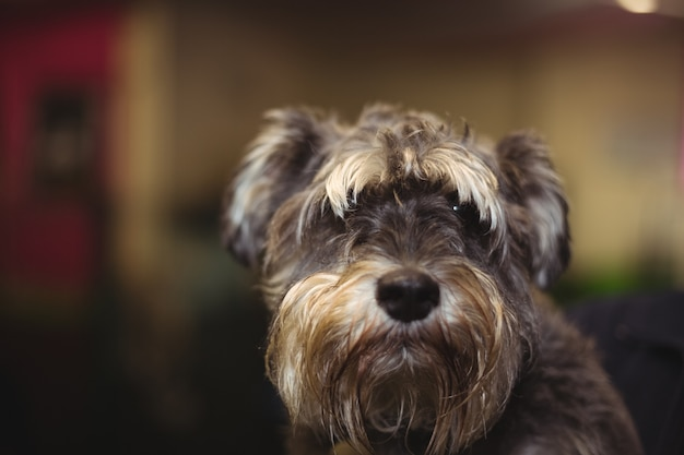 Cairn terriër pup