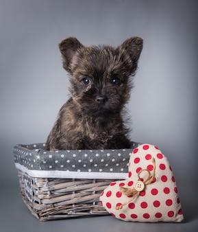 Cairn terrier-puppy met de dag van rood hartvalentine