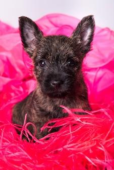 Cairn terrier-puppyhond op roze boisachtergrond.