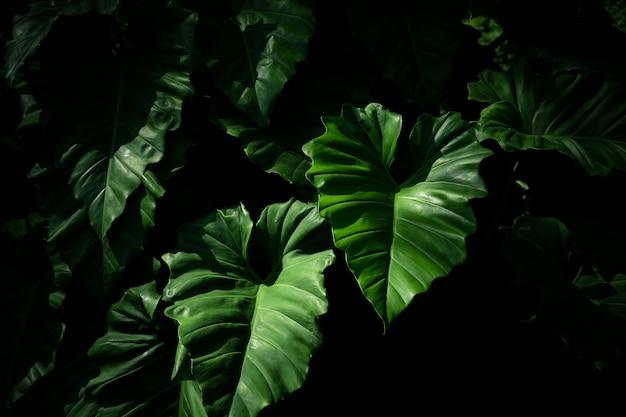 Caladiumblad in het regenwoud