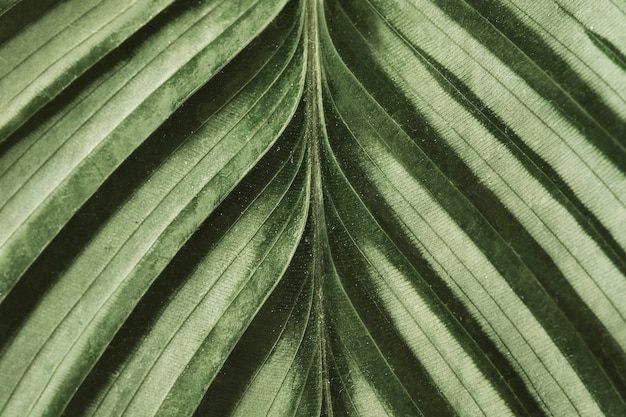 Calathea blad achtergrond close-up