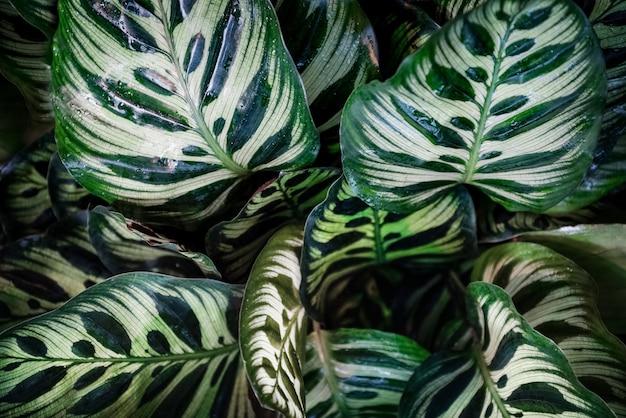 Calathea makoyana patroon groene bladeren natuurlijk
