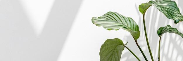 Calathea orbifolia bij een witte muur