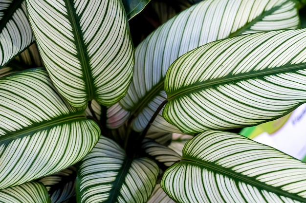 Calathea ornata, verschillend gestreepte, pin-stripe of pin-stripe calathea planten bladeren close-up