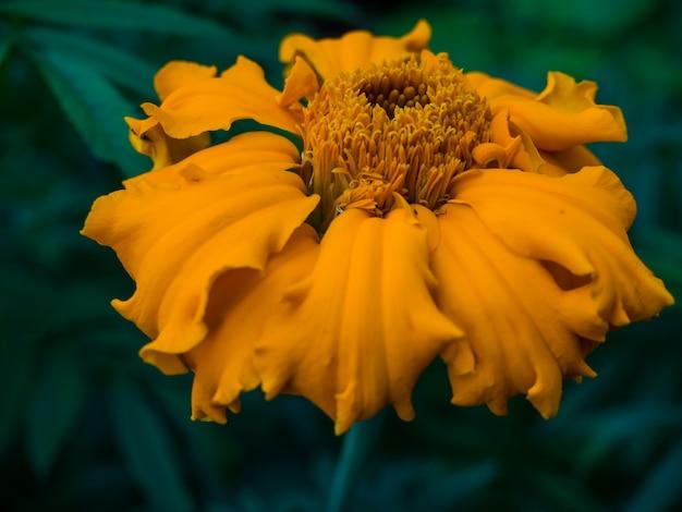 Calendula bloemen close-up voor achtergrond en briefkaart