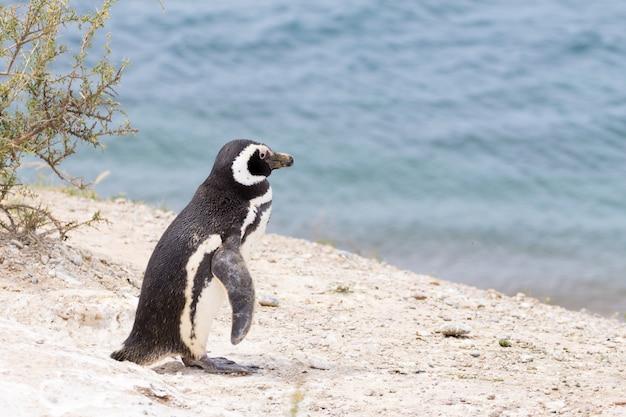 Caleta valdes pinguïnkolonie, patagonië, argentinië