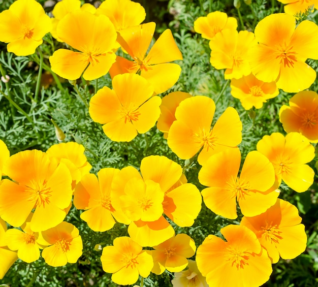 California poppy bloemen (eschscholzia californica)