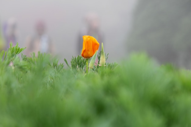 California poppy (eschcsholzia californica cham).