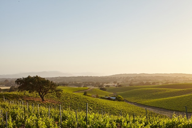 California vineyards in santa barbara